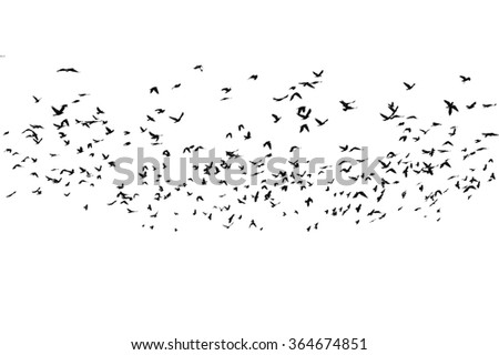 flock of birds isolated on white background, with clipping path, Rook (Corvus frugilegus) - stock photo
