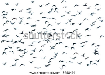 Flock of birds over white (isolated form the background)