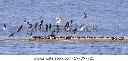 Flock of Black Skimmers (Rynchops niger) in flight.