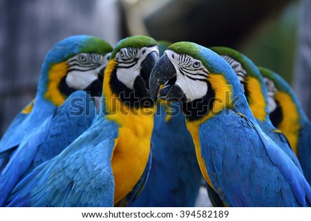 Flock of Blue-and-yellow macaws (Ara ararauna) the beautiful blue parrot birds sitting together - stock photo