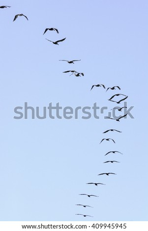 Flock of brown pelicans flying high on a sunny afternoon along the Gulf Coast in Texas - stock photo