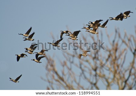 Flock of Canada Geese - stock photo