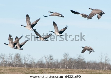 Flock of Canada Geese Against Blue Sky