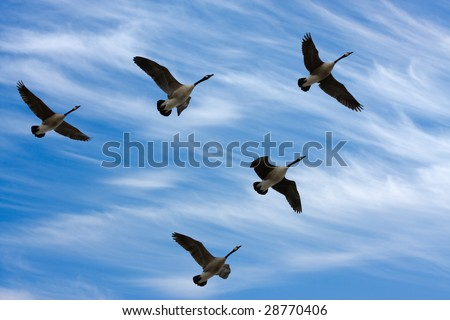 Flock of Canada Geese in V formation during spring migration, in silhouette against a cloudy sky. - stock photo