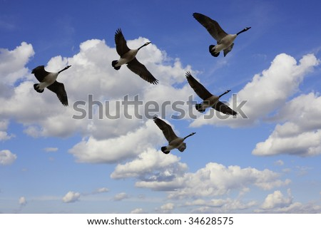 Migrating Geese Stock Photos, Royalty-Free Images & Vectors ...