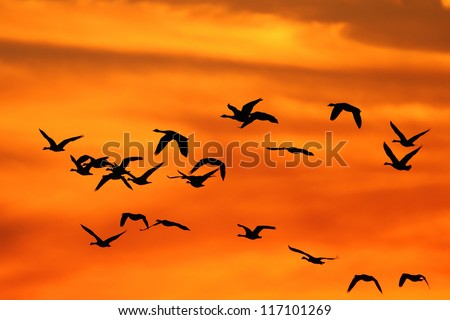Flock of Canada Geese silhouetted against a sunset as they fly south during autumn migration - stock photo
