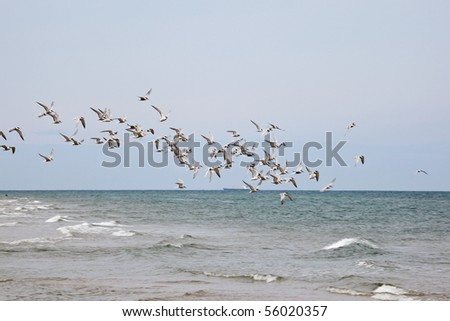 Flock of Common Tern flying over the sea - stock photo