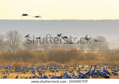 Flock of cranes flying over fields at spring - stock photo
