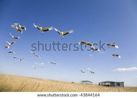 Flock of cranes migrating over yellow grassland against blue sky - stock photo