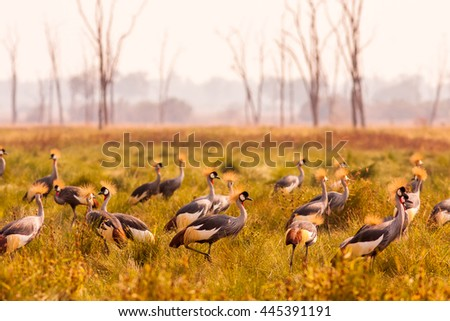 Flock of crowned cranes in South Luangwa Zambia - stock photo