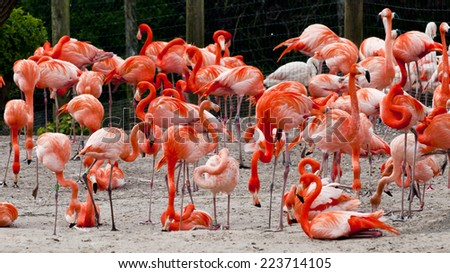 Flock of deep pink  Carribbean flamingoes at Chester zoo, resting and preening. - stock photo