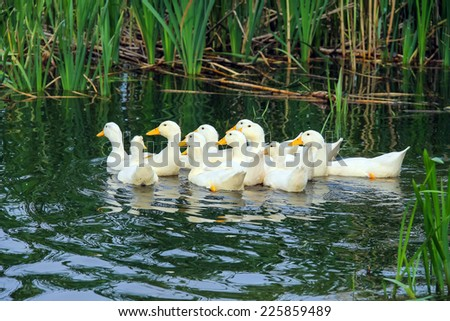 Flock of domestic ducks swimming in the backwaters - stock photo
