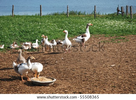 flock of domestic geese in the pen - stock photo