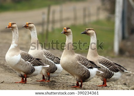 flock of domestic geese walking on rural road - stock photo