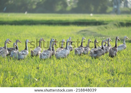 Flock of duck moving on the green field. Let them wander in nature is danger to infect with flu virus as H5N1, H7N9 - stock photo