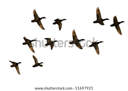 flock of ducks - stock photo
