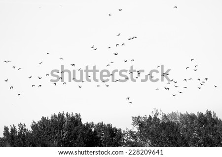 Flock of Ducks Silhouetted Against a White Background - stock photo