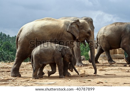 flock of Elephants  in natural surrounding in Sri Lanka near Pinnawella, child with  trunk contact to its mother