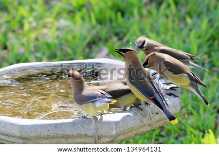 Flock of five Cedar Waxwings (Bombycilla cedrorum) drinking and splashing in birdbath during Texas stopover on their return from winter migration. - stock photo