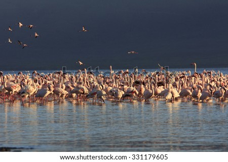 Flock of Flamingoes (Lesser and Greater Flamingo, Great Rift Valley, East Africa) - stock photo