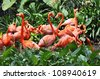 Flock of flamingos is dancing in the grass. - stock photo