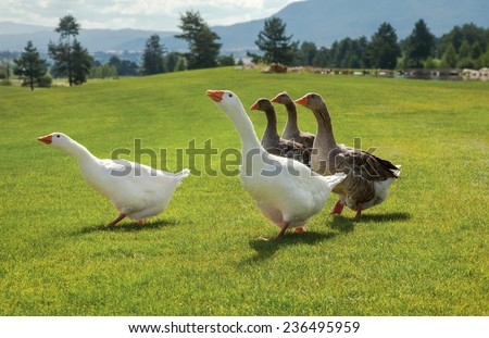 Flock of geese standing on fresh green grass. - stock photo