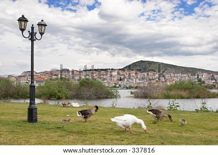 Flock of geese walking at the lakeside against a background of Kastorja town in Greece.