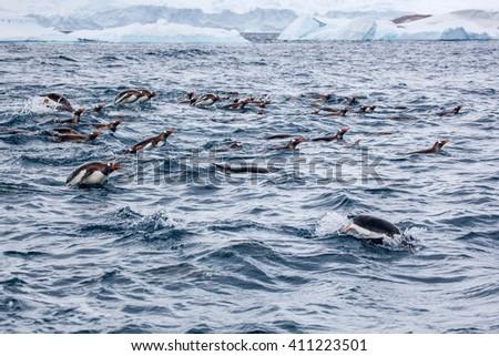 Flock of Gentoo penguins swims in the ocean water, Antarctica - stock photo
