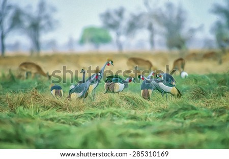 Flock of grey crowned cranes feeding in Zambia South Luangwa National Park, digital oil painting - stock photo