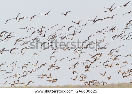Flock of grey goose (Anser anser) flies over swampy lake in Belogorie, southern Russia