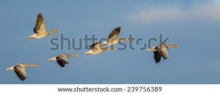 Flock of Greylag Geese (Anser anser) in flight. - stock photo