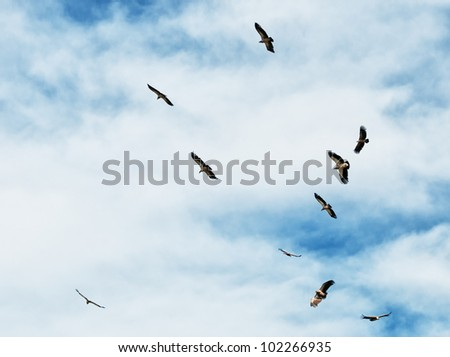 Flock of Himalayan Griffon Vulture in sky - stock photo