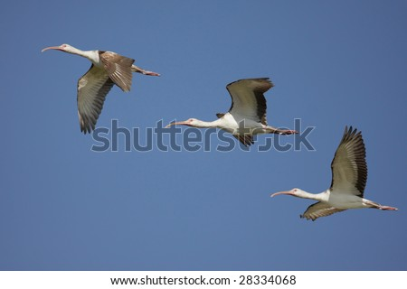 Flock of immature White Ibis (Eudocimus albus) flying over the Florida Everglades - stock photo