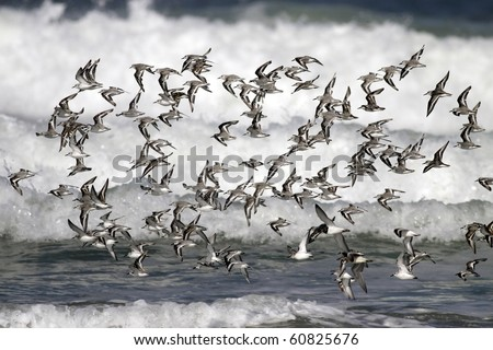 Flock of little shorebirds - sea birds -  flying over waves in a seaside in the north of Portugal - stock photo