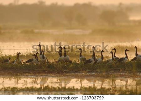 Flock of Magpie Geese (Anseranas semipalmata) in Kakadu National Park, Australia - stock photo