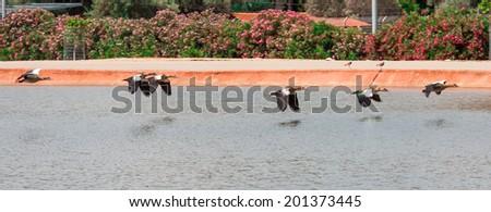 flock of mallard ducks in flight  - stock photo