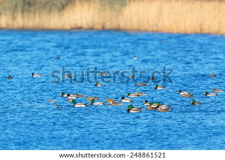 Flock of mallards and little grebes swimming in a lake