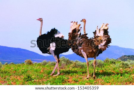 Flock of Ostriches - stock photo