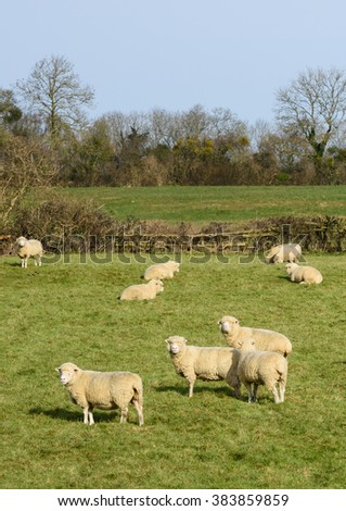 Flock of pedigree Poll Dorset ewes grazing on a Somerset meadow in springtime sun