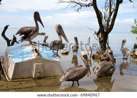 Flock of pelicans wait for fish around an old overturned sailboat in a wildlife sanctuary in the Florida Keys. - stock photo