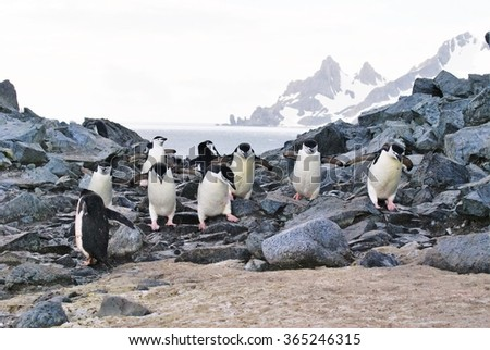 Flock of penguins waddling over a rocky pass in Antarctica
