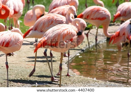 Flock of pink flamingos in a zoo
