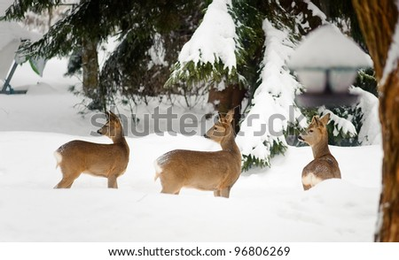 Flock of roe deers watching and traveling middle in suburb. - stock photo
