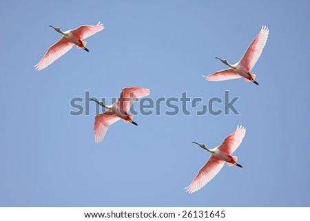 Flock of Roseate Spoonbills (Platalea ajaja) flying over the Florida Everglades - stock photo