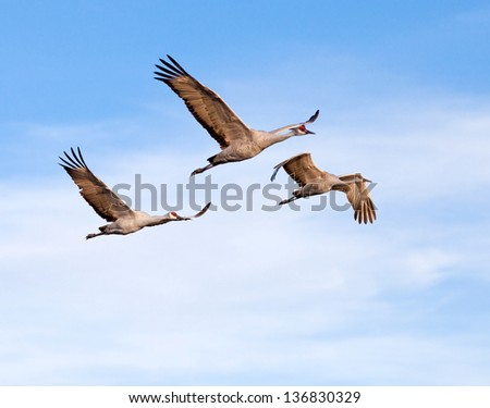 Flock of sandhill cranes, New Mexico, Bosque del Apache national wildlife refuge - stock photo