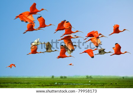 Flock of scarlet and white ibises in flight above green meadow with blue sky background (flying birds) (bids in the sky) - stock photo