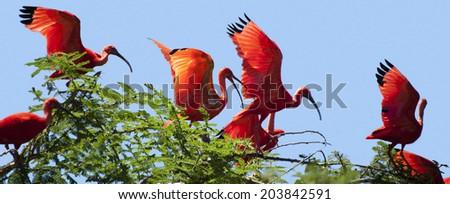 Flock of scarlet ibises on tree - stock photo