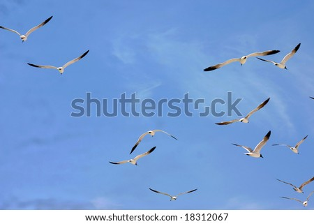 Flock of seagulls in flight on Florida's Gulf Coast. - stock photo