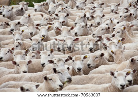 Flock of sheared sheep with central sheep looking at camera - stock photo