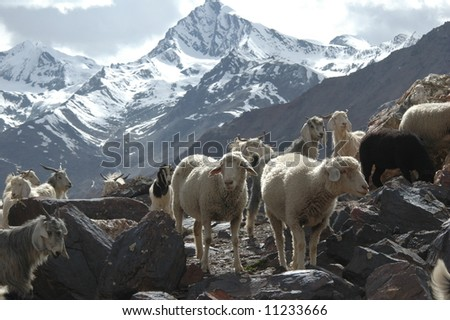 Flock of sheep and goats grazing alpine pasture in Northern India - stock photo